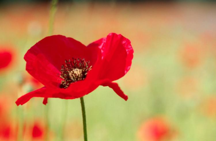 remembrance-day-aus